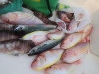 北海道は稚内で鮭釣りをしました(写真は東京湾の綺麗なイトヨリ)